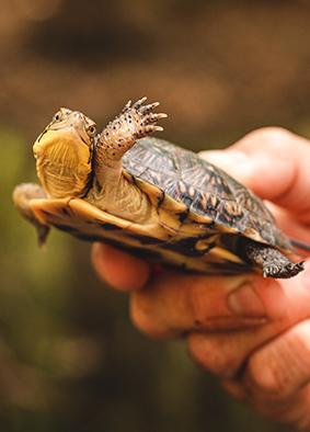 A Blanding's turtle (Emydoidea blandingii). Image courtesy Corey Wycoff and the Toledo Zoo.